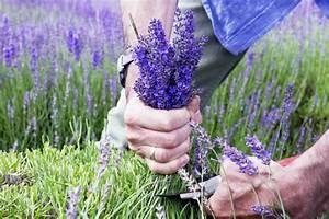 Lavendel Wann Schneiden : pflege tipps fur den lavendel im garten wann muss man ihn ~ Lizthompson.info Haus und Dekorationen