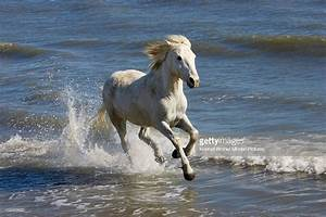 Camargue Horse Running In Water At Beach Camargue France ...