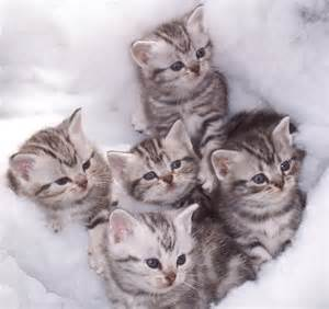 american shorthair cat soundcalijar american shorthair kittens