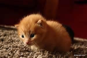 Cute Fluffy Orange Kittens