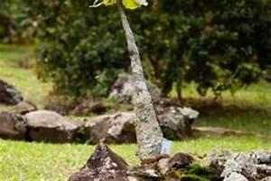 Kentia Palme Braune Blätter : kentia palme giftig oder ungef hrlich f r mensch und tier ~ Watch28wear.com Haus und Dekorationen