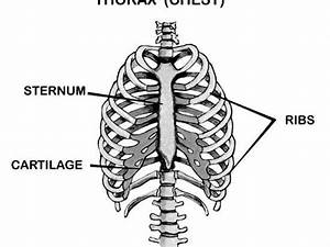Thorax Chest Labeled Rib Cage Sternum Photographic Print At Art Com