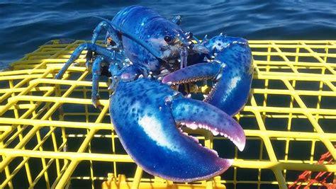 lobster maine rare coast caught code