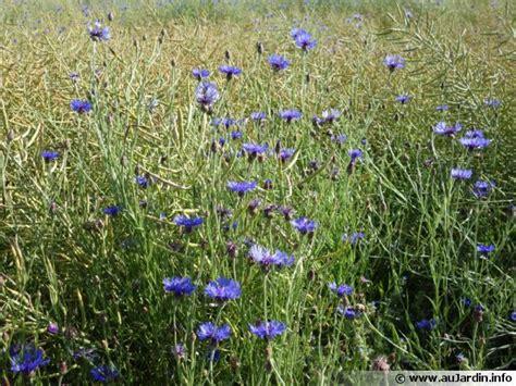 bleuet des chs barbeau bleu centaurea cyanus