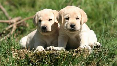 Labrador Lab Puppies Puppy Retriever Wallpapers Dog