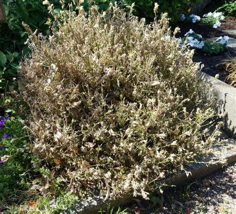 Raupen Am Buchsbaum by Buchsbaum Krankheiten Bek 228 Mpfung Buchsbaum Sch Dlinge