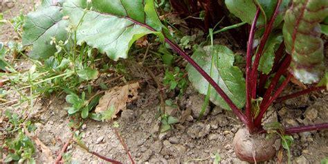 cuisiner les feuilles de betteraves rouges betterave semis culture et récolte au potager