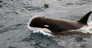 Watch Video Of Type D Killer Whales  Rarely Seen By Humans