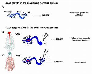 The Genetics Of Axon Guidance And Axon Regeneration In Wiring Diagram