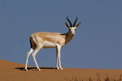 goitered gazelle wikipedia