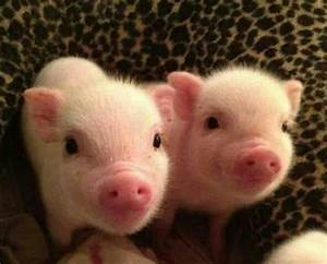 2 Little Piggies