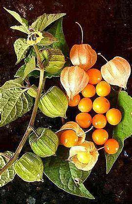 andenbeere stecklinge ziehen poha berry physalis peruviana cape gooseberry inca berry aztec berry golden berry