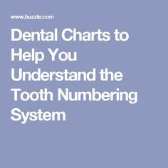 adult tooth chart  numbers dental pinterest dental teeth  tooth chart