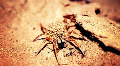 brown  black spider  brown wooden surface