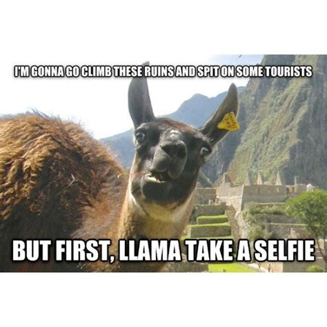 Funny Llama Memes - 48 best llamas alpacas images on pinterest funny images funny photos and funny pics
