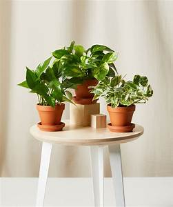 Buy Potted Pothos Collection