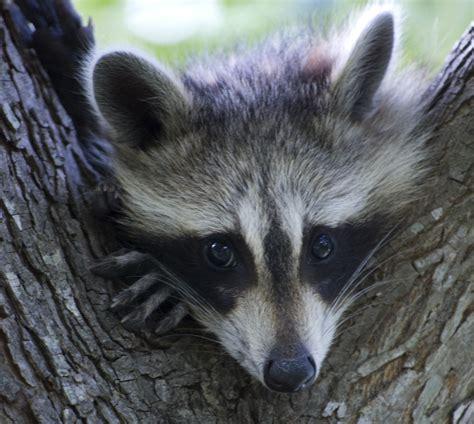 rabies vermont department  health