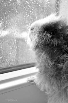 1000+ images about Piggies- Guinea Pigs on Pinterest
