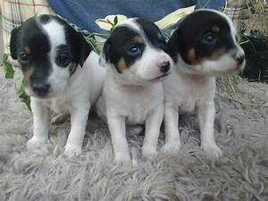 cachorros fox terrier chileno - Region Metropolitana