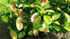 Stockrosen Blätter Haben Löcher : schrotschusskrankheit beim kirschlorbeer ~ Lizthompson.info Haus und Dekorationen