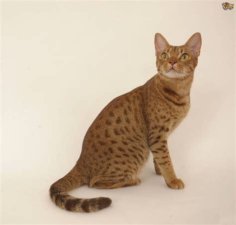 cat breeders 4 gorgeous looking cat breeds pets4homes