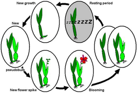 orchids bloom cycle dormancy wikipedia