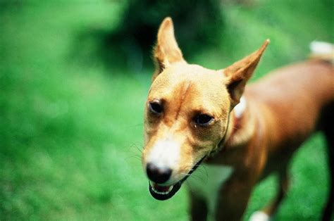 Basenji Shedding A Lot by Got Allergies These Hypoallergenic Breeds Are Your