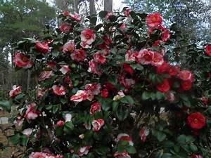 Camellia Japonica Winterhart : list 10 trees and shrubs ~ Eleganceandgraceweddings.com Haus und Dekorationen
