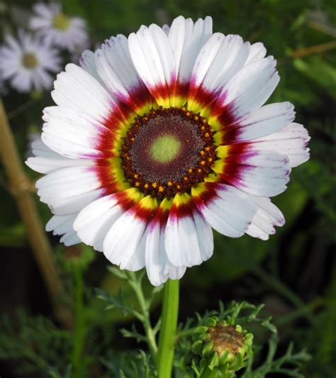 meaning  daisy flowers   facts