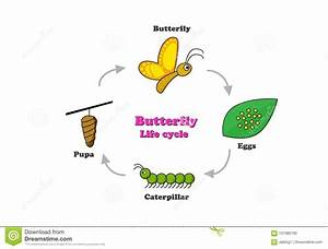 Butterfly Life Cycle In Colorful Style  Vector Stock
