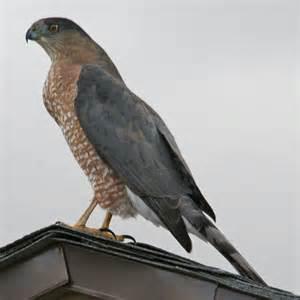 Adult Female Cooper's Hawk