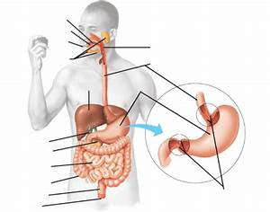 Digestive System  Labeling The Parts