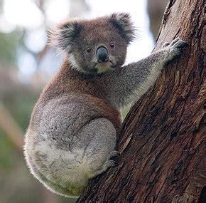 koala wikip 233 dia