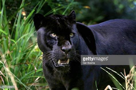 black leopard stock   pictures getty images