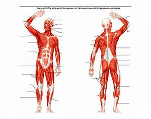 Human Muscles Of The Body Diagram Unlabeled
