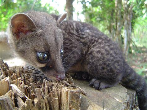 African Civet | Robert Howard | Flickr