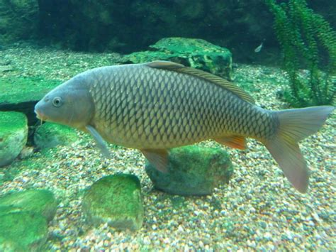 virginia living museum common carp