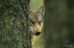 Symbole Du Loup : symbole et richesse de la faune sauvage aspas ~ Melissatoandfro.com Idées de Décoration