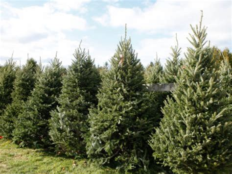 best places to buy christmas trees in minnesota maple