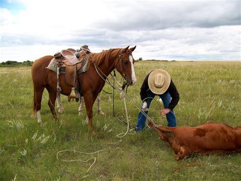 cow horse calf half around warning cowboy horn tied leg tight way cowgirl foot