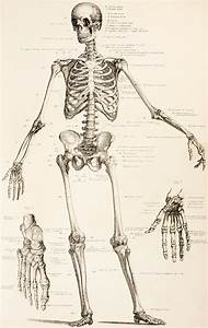 The Human Skeleton Drawing   Skeleton   Pinterest ...