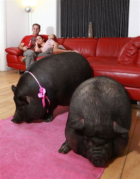 pot belly pig pet tips for raising a pot bellied pig in the house