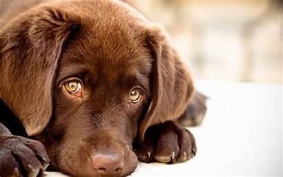Labrador Background Wallpapers Wall 1920 Abyss