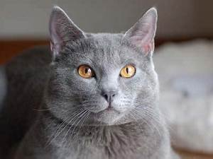 Chartreux Price Personality Lifespan