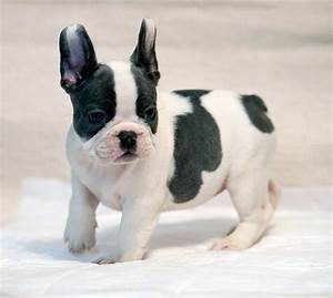 Our breeding • French Bulldog puppy for sale, French ...