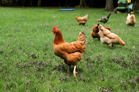 Backyard Chickens Provide Fun Way To Enjoy Fresh Eggs