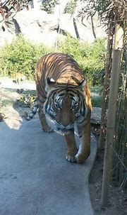 Pin on Bengal tiger