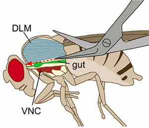 Schematic Drawing Of A Fly Viewed Laterally  The Thorax Is