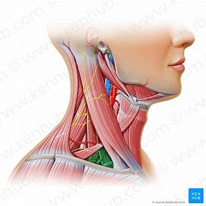 Triangles Of The Neck  Anatomy  Borders And Contents