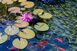 Goldfisch Haltung Im Teich : goldfische im gartenteich so halten sie sie artgerecht ~ A.2002-acura-tl-radio.info Haus und Dekorationen